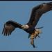 Bald Eagle W/ catfish by Adrien S.M