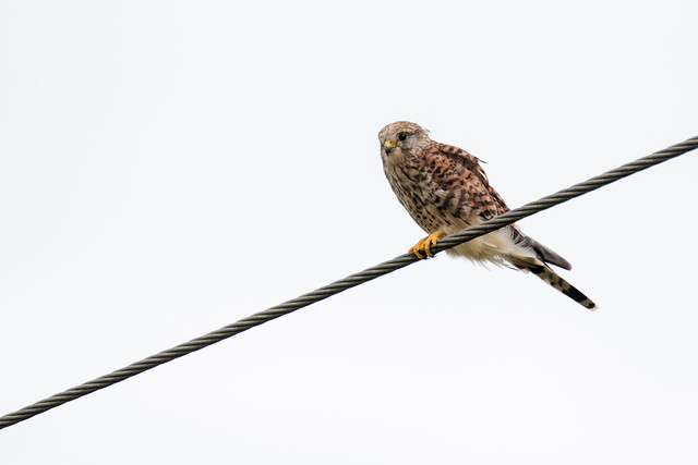 Bird on a wire, Canon EOS 70D, Sigma 150-600mm f/5-6.3 DG OS HSM | C