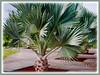Latania loddigesii (Blue Latan Palm, Latan Palm, Blue Latania Palm)