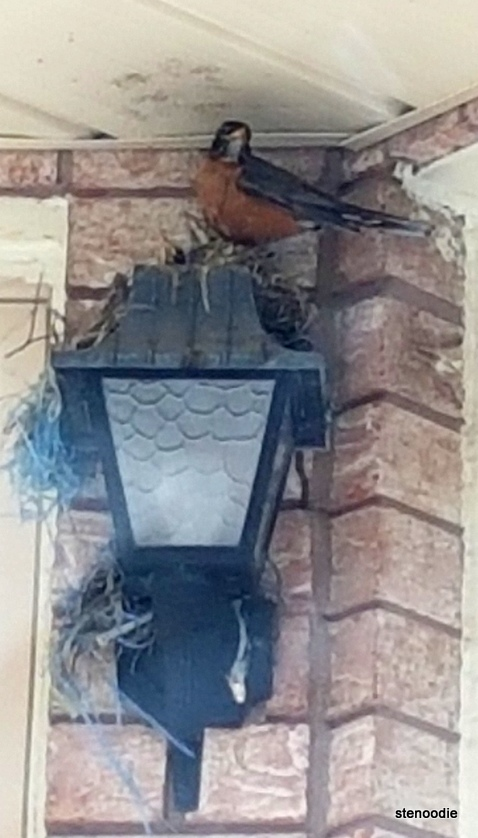 parent robin and babies in nest