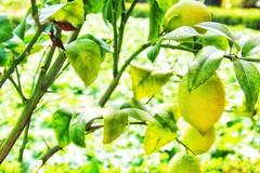 🎼When the Sour turns to Sweet🎶#sour #citrus #citroen #fruits #fruit #freshfruit #growing #lovephotography #photographer #photography #fotograaf #fotografie #outside