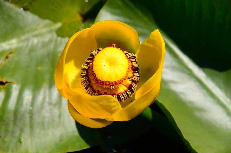 Yellow Water Lily (3)