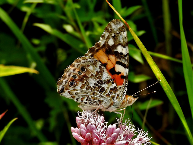 Painted Lady, Nikon COOLPIX P610