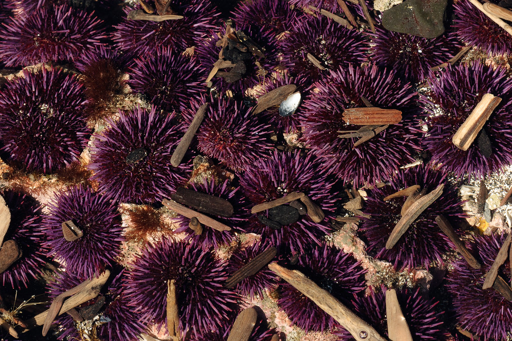 A group of purple sea urchins have carved out holes for themselves in a tide pool at Yaquina Head Outstanding Natural Area in Newport, Oregon