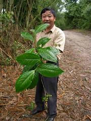 Large leaf of puerh arbor tree