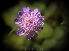 Wild flower.