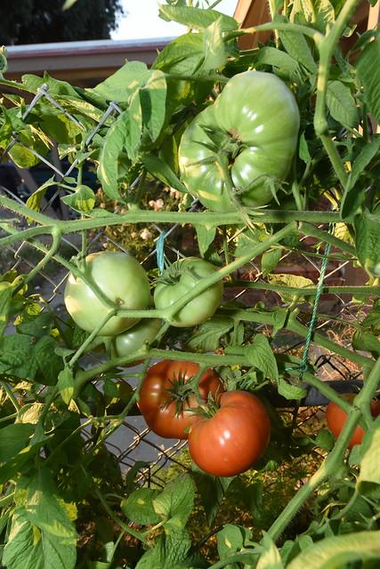 Lots of Jumbo Tomatoes!, Nikon D810, AF-S Zoom-Nikkor 14-24mm f/2.8G ED
