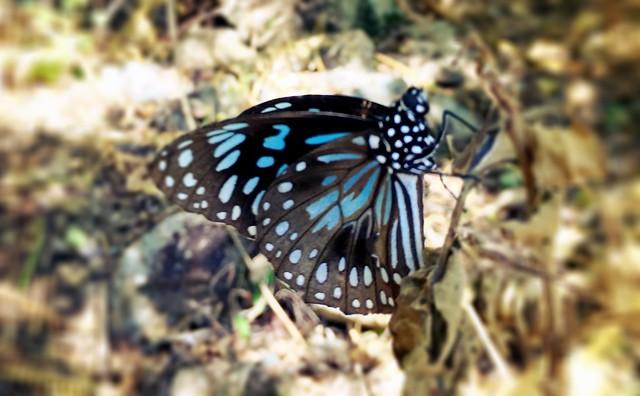 Brampton Island butterfly