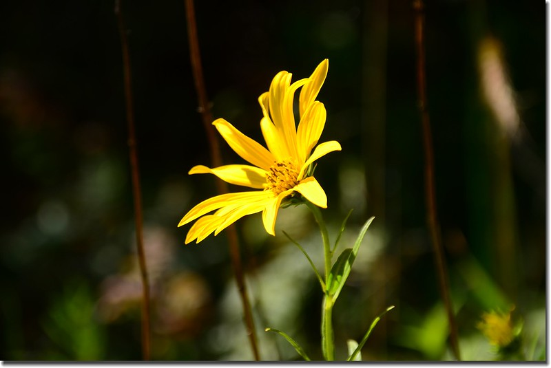 Heart leaved Arnica