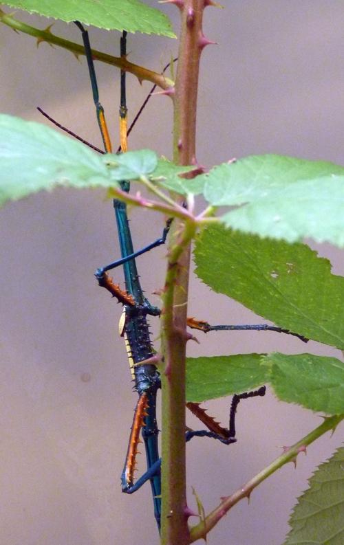 Achrioptera fallax 36601025852_91c8666189_o