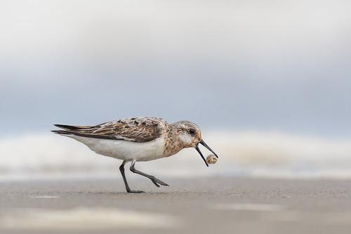 shorebird sand beach ocean feeding wildlife nature bird water oceancitynj peep sanderling fiddlercrab crab ocnj oceancity newjersey unitedstates us nikon d500