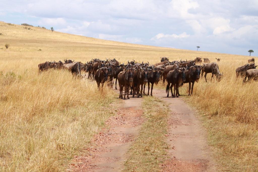 Wildebeest blockade