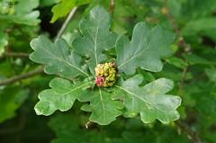 oak gall wasp acorn leafs