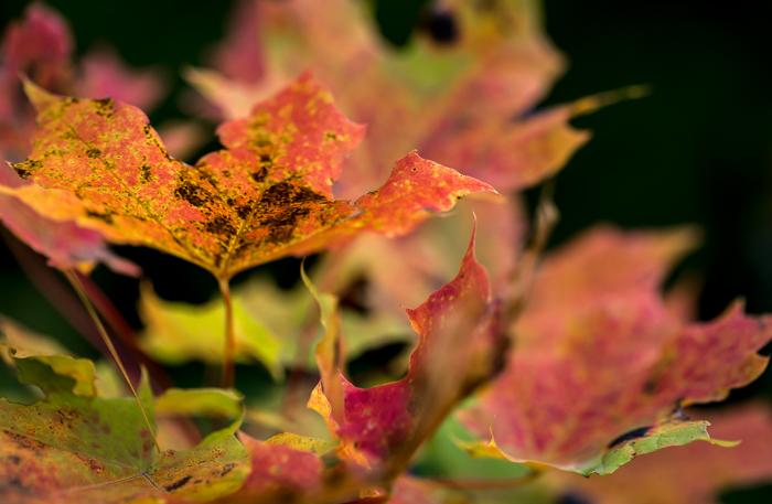 syksy syyskuu värikkäät lehdet puun lehdet vaahteranlehdet  (1 of 1)