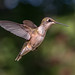 Ruby-throated Hummingbird by tonyclementsphotography