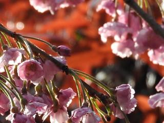 かわいい妖精たち 桜編17