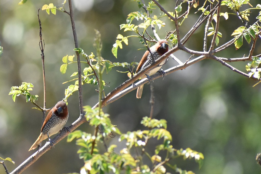 Scaly-Brested Munia