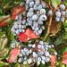 UK - Buckinghamshire - Near Little Chalfont - Blue berries