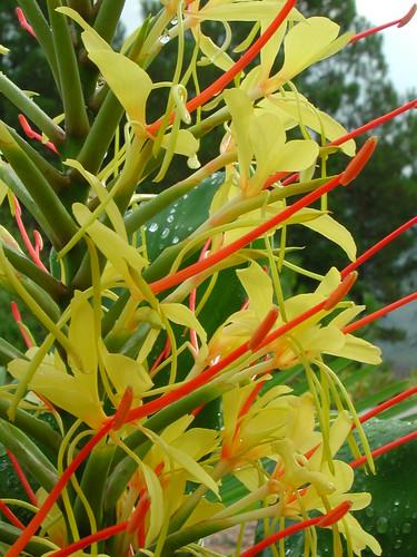 Hedychium gardnerianum 37017043185_bee5b7869a