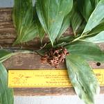 Acacia mangium leaf and seed pod