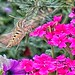 "White-lined Sphinx (""hummingbird"") moth, Georgetown, Colorado, 2017"