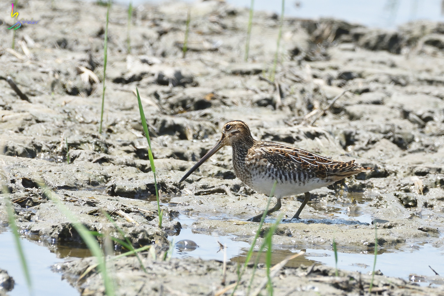 Common_Snipe_7636