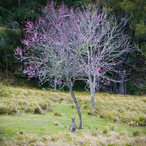 Kangaroo and blossoms