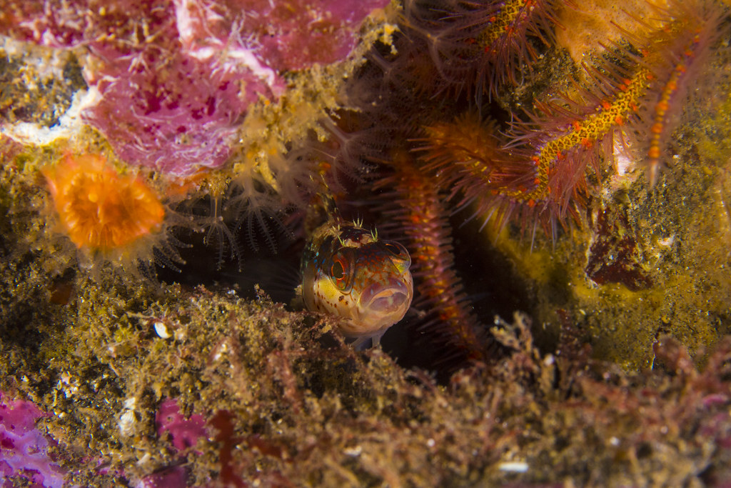 islandkelpfishSep8-17