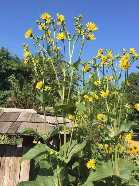 Silphium perfoliatum; Cup Plant