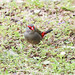 Neochmia temporalis (Red-browed Firetail) by Arthur Chapman