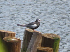 White-winged Tern, Lake Nussmuk, Tioga Co., PA