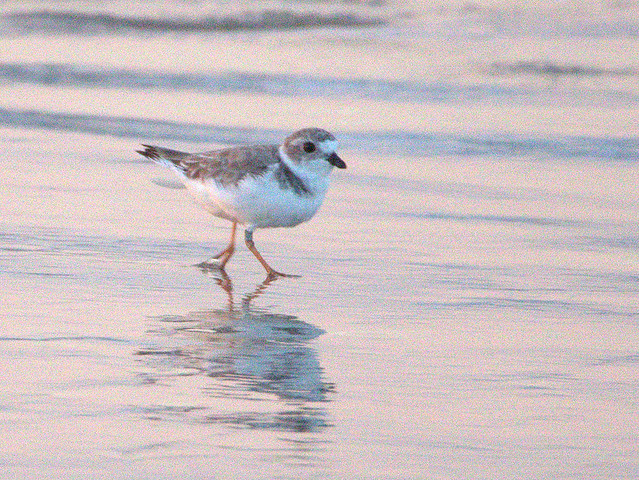 Piping Plover 04-20170817
