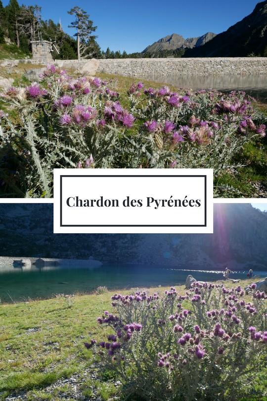 16_Chardon des Pyrénées