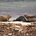 Seals near Birsay, Orkney Islands
