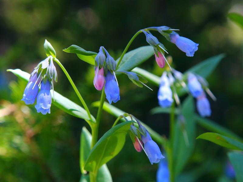 IMG_4915 Aspen Bluebell, Cedar Breaks National Monument