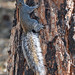 Arizona Gray Squirrel, Mt. Ord