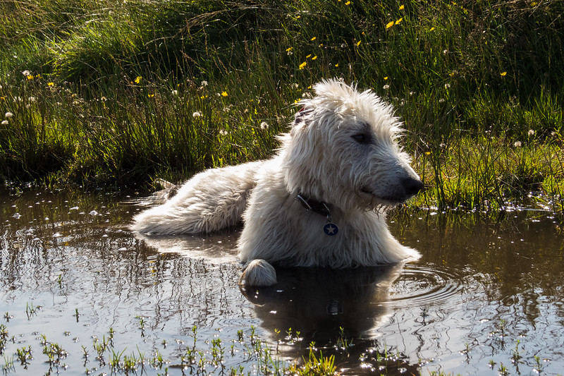 Time to cool down in a puddle