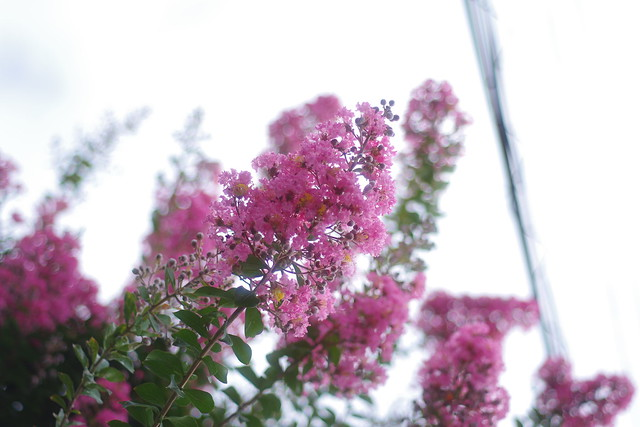 Crape flowers