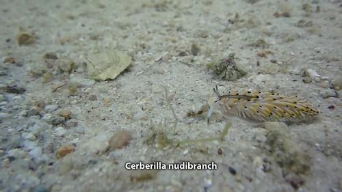 Cerberilla asamusiensis