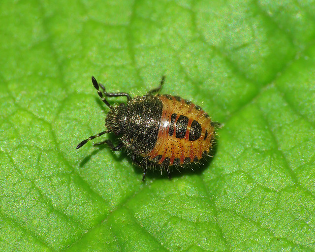 Hairy Shieldbugs - Dolycoris baccarum