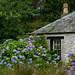Abandoned Cottage with Hydrangeas