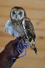 Owl LMP1B
