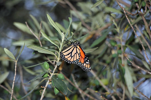 Butterfly in the olive tree