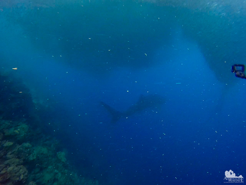 Whale Shark Shadow