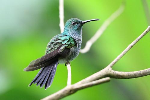 whiteventedplumeleteer chalyburabuffonii trochilidae hummingbirds chalybura buffonii hummingbird plumeleteer bird antonvalley elvalledeantón canopylodge coclé panama mangoverde