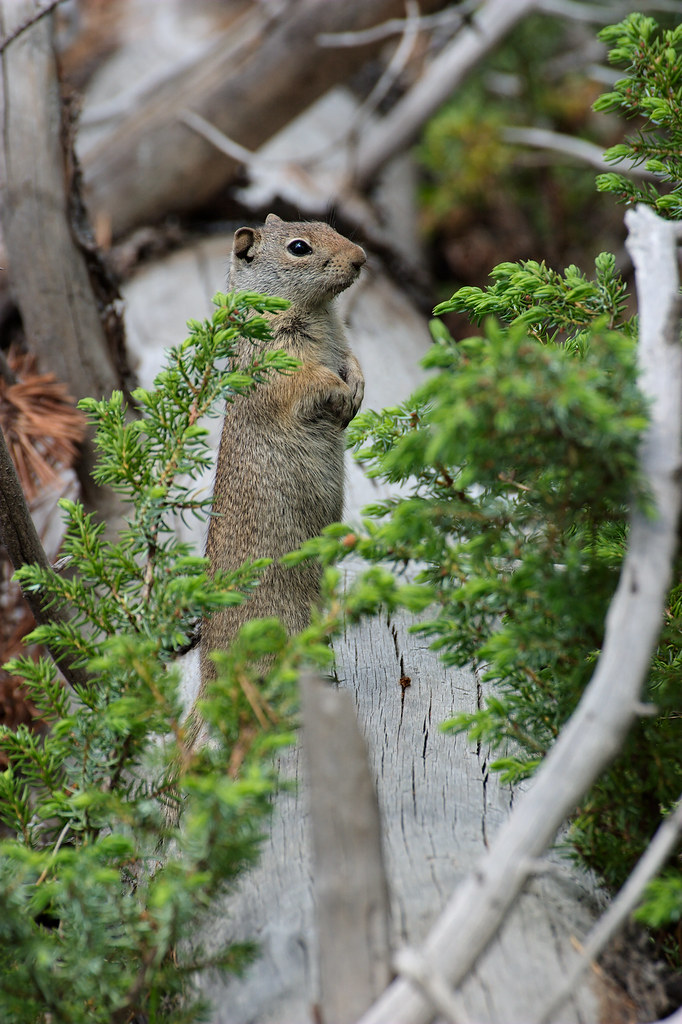 A Uinta ground squirrel stands on a log beside the Two Ribbons Trail in Yellowstone National Park