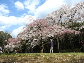 泉自然公園 35 見守る人と桜木