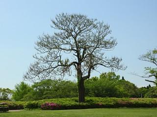 昭和の森 2 木々 05