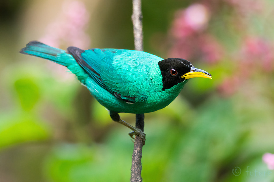 Chlorophanes, spiza, Green, Honeycreeper, Sarapiqui, valley, Costa Rica, Kaido Rummel