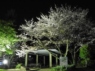千葉公園綿打池 夜桜ライトアップ03
